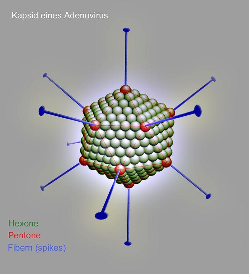 Schematischer Aufbau des Kapsids eines Adenovirus