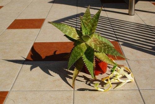 Aloe-Überraschung