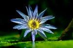 Wasserlilie (oder so)
