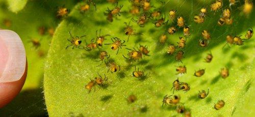 Gartenkreuzspinnen-Nachwuchs