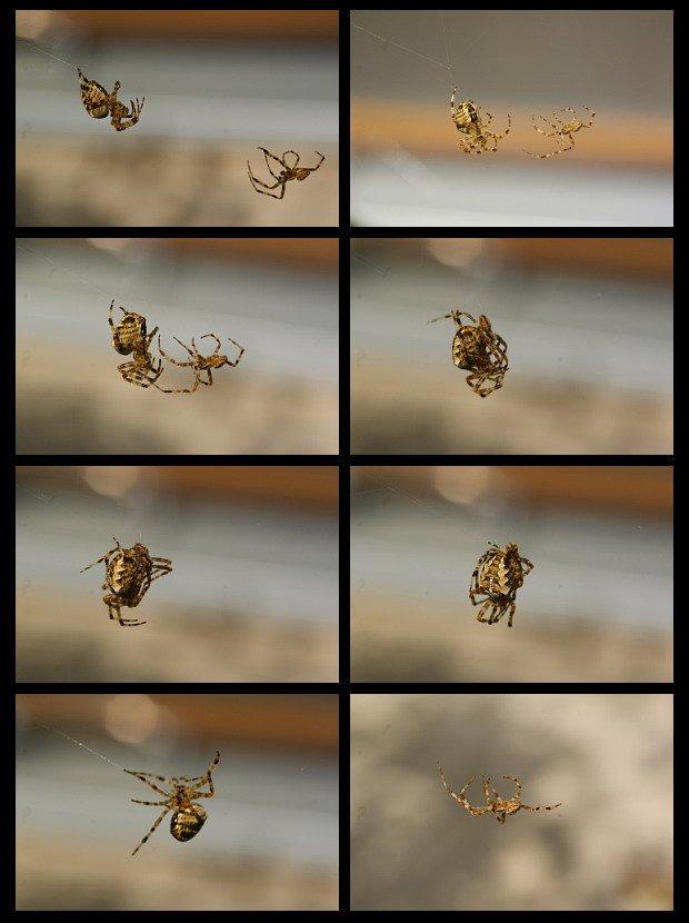 Kreuzspinnen-Rendezvous - KA