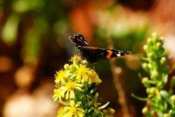 Schmetterling auf Grgur