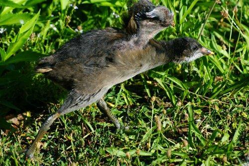 Teichhuhn-Jungvogel