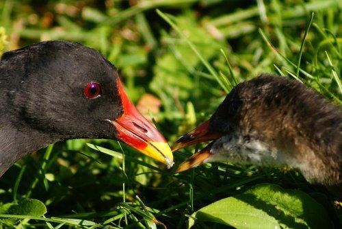 Teichhuhn-Jungvogel mit Elternteil