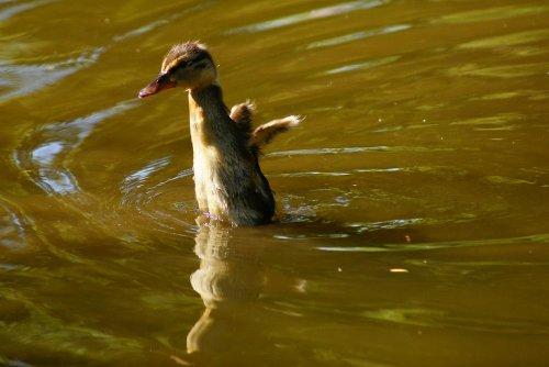 Stockenten-Jungvogel