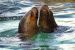 Seelöwen, verliebt